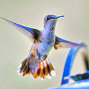 Hummingbird At The Feeder Poster by Shirley Tinkham