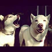Husky Dogs Poster by Photography by Brandon Shepherd