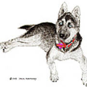 Husky With Blue Eyes And Red Collar Poster by Jack Pumphrey