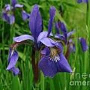 Irises Poster by Randi Shenkman