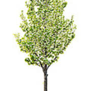 Isolated Flowering Pear Tree Poster by Elena Elisseeva
