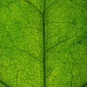 Ivy Leaf Poster by Steve Gadomski
