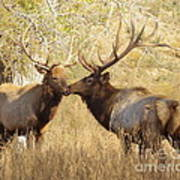 Junior Meets Bull Elk Poster by Robert Frederick