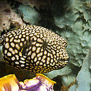 Juvenile Map Pufferfish Poster by Georgette Douwma