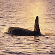 Killer Whale Poster by Alexis Rosenfeld