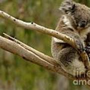 Koala At Work Poster by Bob Christopher