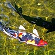 Koi With Shadow Poster by Brian D Meredith