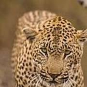 Leopard Panthera Pardus, Arathusa Poster by Stuart Westmorland