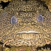 Leopard Toadfish Poster by Clay Coleman