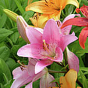 Lilies (lilium Sp.) Poster by Tony Craddock