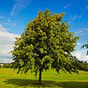 Lime Tree In Summer Poster by Gabriela Insuratelu