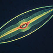 Lm Of A Diatom Alga, Caloneis Permagna Poster by Eric Grave