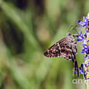 Long-tailed Skipper Butterfly Poster by Cindy Bryant