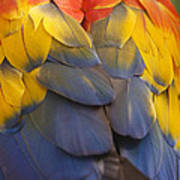 Macaw Parrot Plumes Poster by Adam Romanowicz