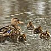 Mama Mallard With Babies Poster by Deborah  Smith