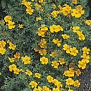 Marigolds (tagetes 'tangerine Gem') Poster by Adrian Thomas