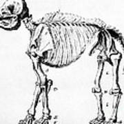 Mastodon Skeleton Drawing Poster by Science Source