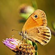 Meadow Brown Butterfly  Poster by Elena Elisseeva