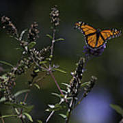Monarch In Morning Light Poster by Rob Travis