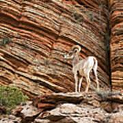 Mountain Goat Poster by Jane Rix