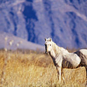 Mustang Poster by Mark Newman and Photo Researchers