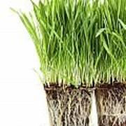 Organic Wheat Grass On White Poster by Sandra Cunningham