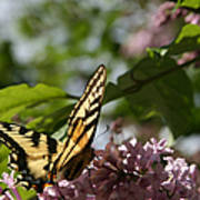 Papilio Glaucus   Eastern Tiger Swallowtail  Poster by Sharon Mau