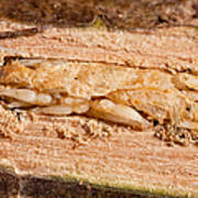 Parasitized Ash Borer Larva Poster by Science Source