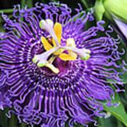 Passionflower Purple Poster by Rosalie Scanlon