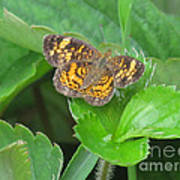 Pearl Crescent Butterfly Poster by Randi Shenkman