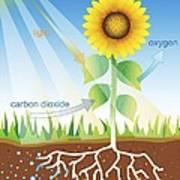 Photosynthesis, Illustration Poster by David Nicholls