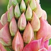 Pink Lupine Buds Poster by Michele Penner