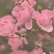 Pink Roses Poster by Paula Sharlea
