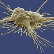 Pluripotent Stem Cell, Sem Poster by Steve Gschmeissner
