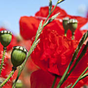 Poppy Pods Poster by Jane Rix