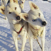 Portrait Of Two Husky Sled Dogs Poster by Paul Nicklen