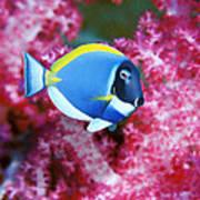 Powder Blue Surgeonfish Poster by Georgette Douwma