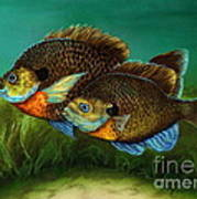 Pretty Little Panfish Poster by Kathleen Kelly Thompson