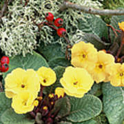 Primroses Poster by Archie Young