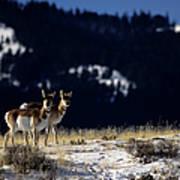 Pronghorn (antilocarpa Americana) Poster by Altrendo Nature