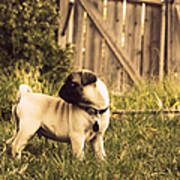 Pug Pose Poster by Taryn