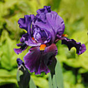 Purple And Orange Iris Flower Poster by Jai Johnson