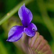 Purple Bromeliad Flower Poster by Douglas Barnard