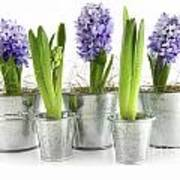 Purple Hyacinths Poster by Sandra Cunningham