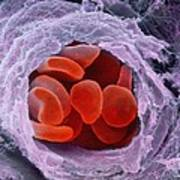 Red Blood Cells Poster by Professors P.m. Motta & S. Correr