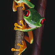 Red-eyed Tree Frog Agalychnis Callidryas Poster by Gregory G. Dimijian, M.D.