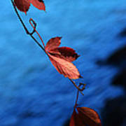 Red Maple Leaves Poster by Paul Ge