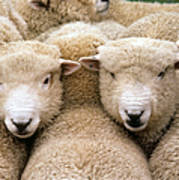 Romney Sheep Poster by Gregory G Dimijian and Photo Researchers