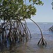 Root Legs Of Red Mangroves Extend Poster by Medford Taylor
