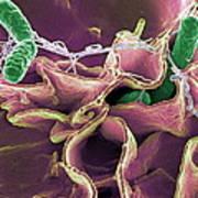 Salmonella Bacteria, Sem Poster by Niaidcdc